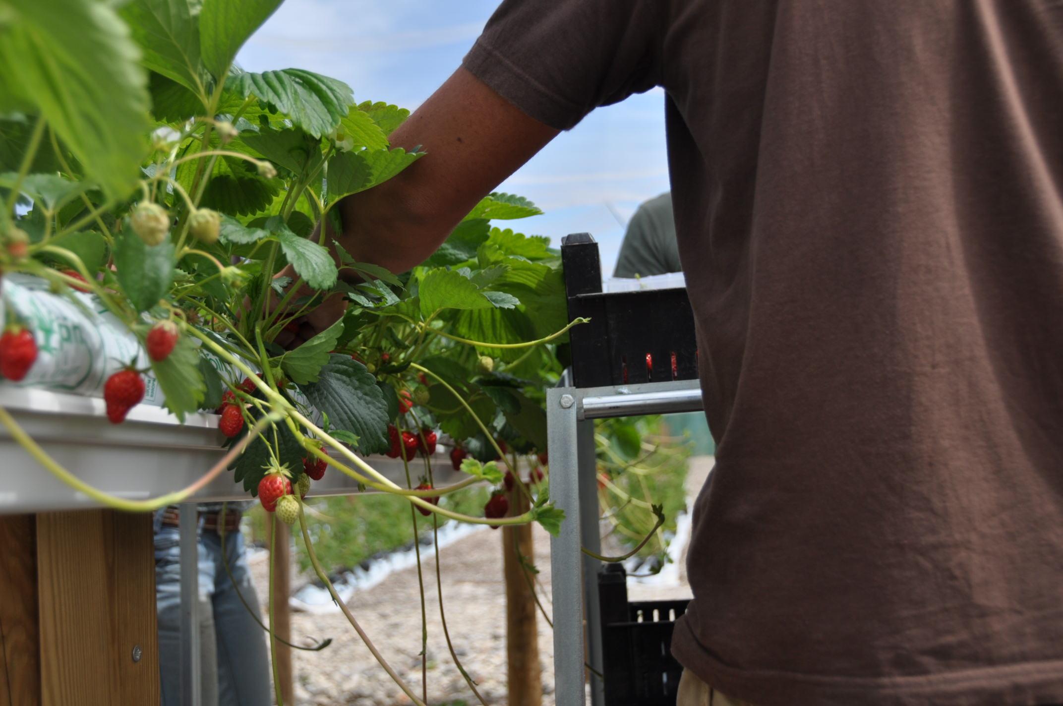 fraises cueillette
