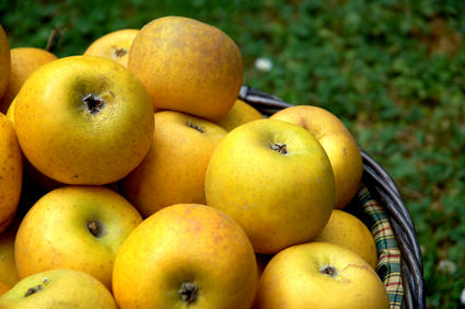 pommes jaunes chantecler