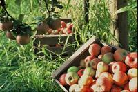 Pommes cagette
