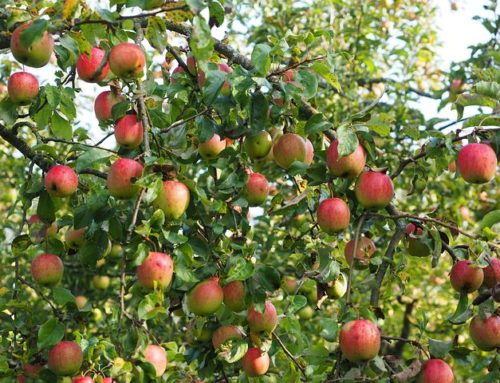 Les pommes, le cholestérol et le microbiote !