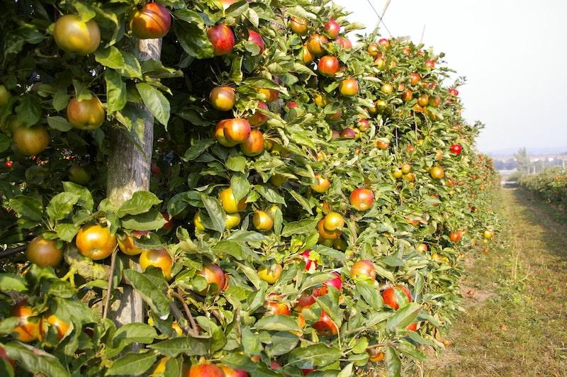 Pommiers et pommes vergers de Gally